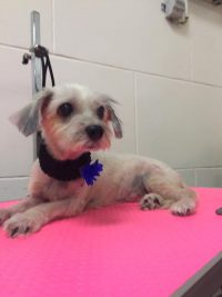Terrier MixPost Grooming at Pawsome Pets Guyana